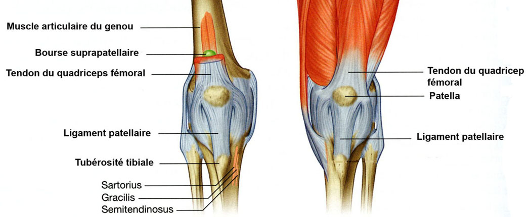 Mcuissetext on knee ligaments and tendons